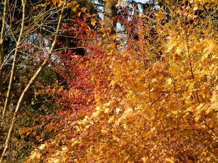 November 2011 goldener Herbst - Garten 036