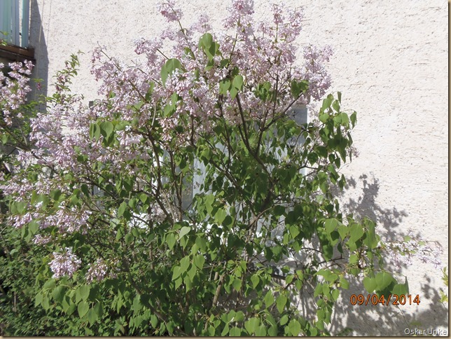 Hoffliederbaum