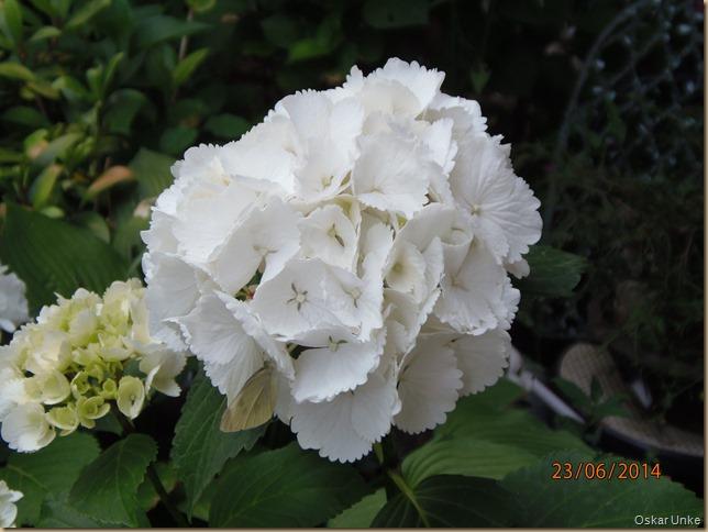 Juni 2014 - 22-23 - Olymp 810 - SoSpZg   Garten 028