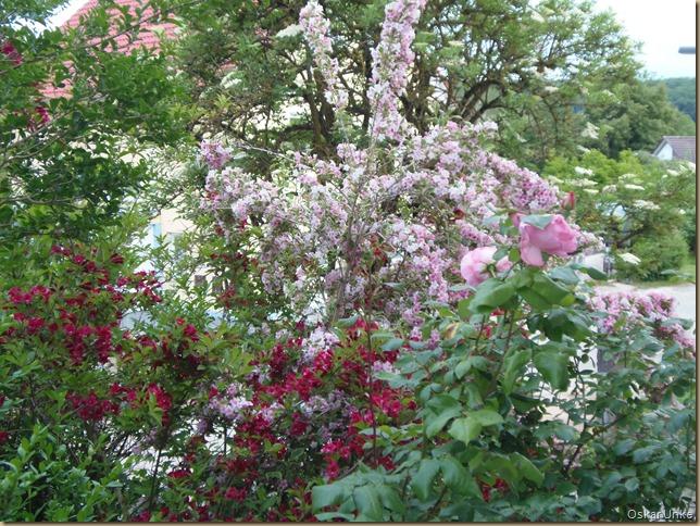 Weigelienblüte 2