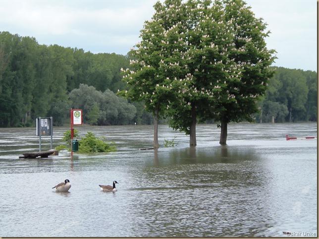 Mai 2016 - 15 - Pfingstsonntag Olymp 810 - Rheinhochwasser 015