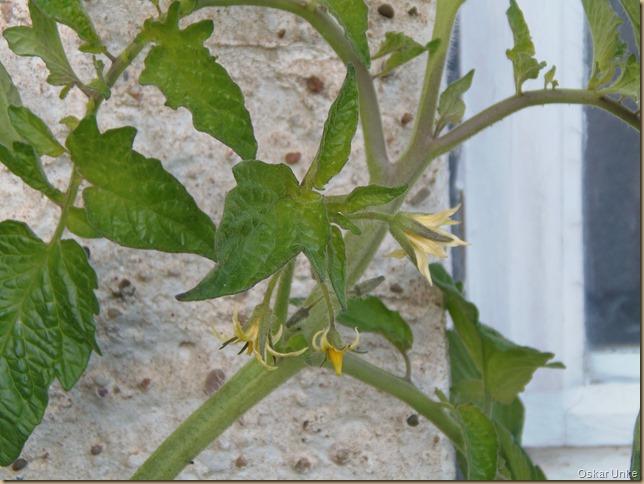 späte Tomatenblüte