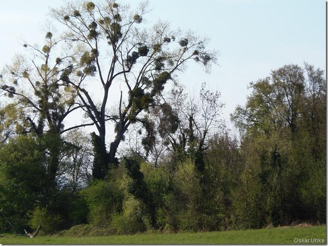 Mispelbäume