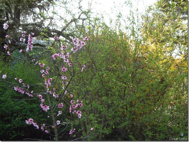 Mein Pfirsichbaum