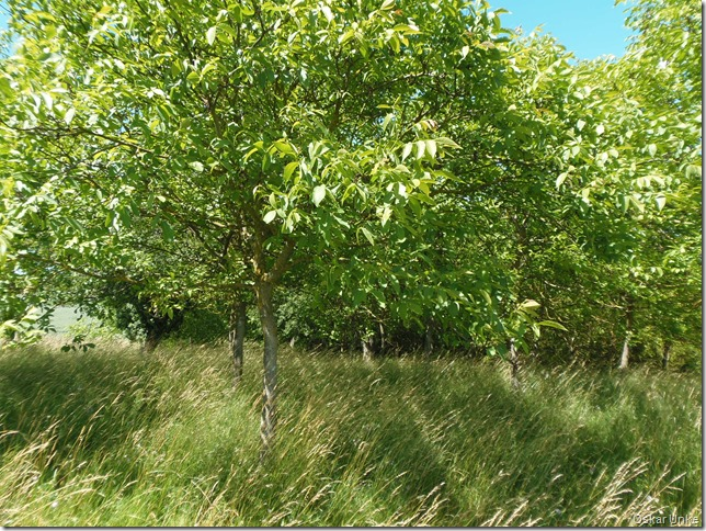 Nußbäume