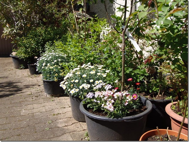 Mein Hofkübelgarten