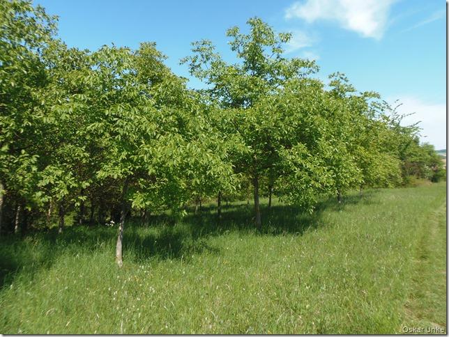 Nußbaumpflanzung