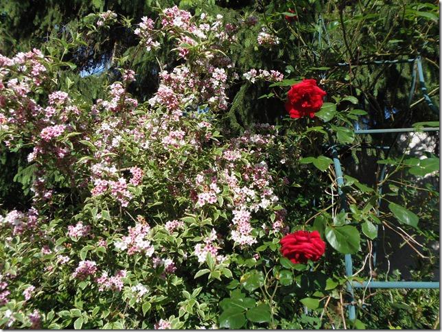Rosen blühen schon