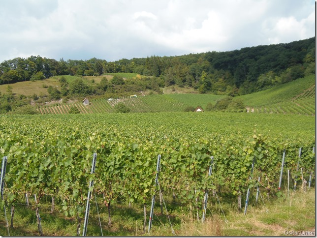Weinberge in Diefenbach 2